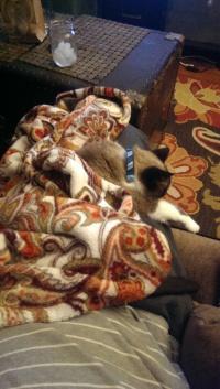 Lap Cat Abi