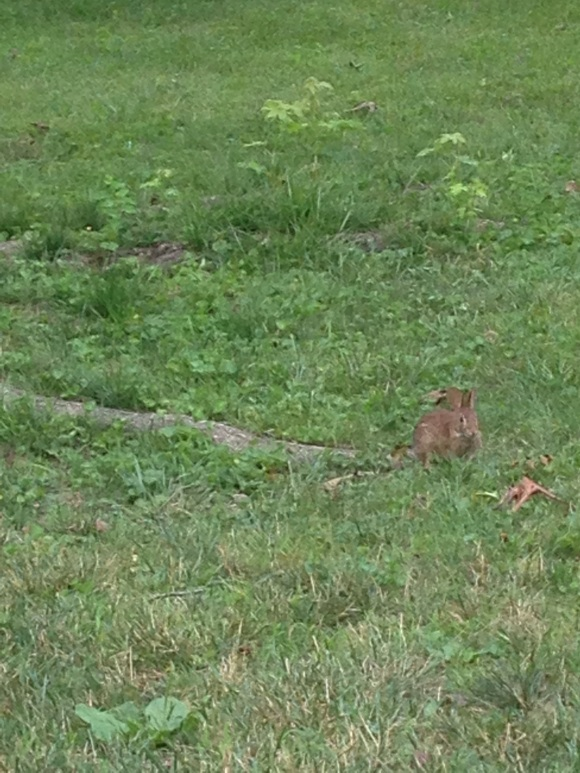 So many bunnies on campus! I see them munching away on the clover almost every morning.